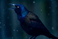 Grackle Cackle